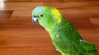 This parrot laughed out loud when the owners were not around (Watch Video)