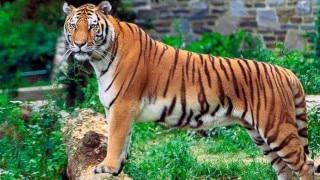 Uttarakhand: 4 held with tiger skin, 25 kg bones in Dehradun