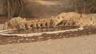 Rarely seen Asiatic lions spotted at a watering hole in Gujarat's Gir National Park