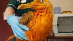 This orange seagull is going viral after it fell into chicken curry!