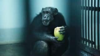 Suzi the Chimpanzee in Hyderabad zoo is pampered with oil massage and coffee everyday!