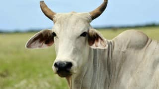 Act against Rajasthan government for death of 1,000 cows: Congress MP asks Prime Minister
