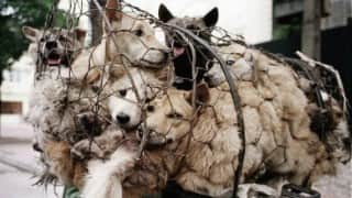 China's Yulin dog meat eating festival to be called off? 11 million sign petition seeking ban on barbaric ritual
