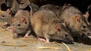 चीन में फैली एक और बीमारी! अब मंडराया मानव प्लेग महामारी फैलने का खतरा