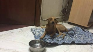 Dog thrown off from rooftop by sadist man, now being treated at Madras Veterinary College in Veperye