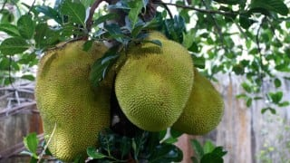Jackfruit Declared as Official State Fruit of Kerala; Proposal by the Agriculture Department