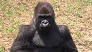 Mexican zoo shocked after beloved gorilla dies