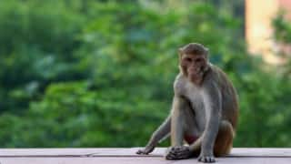 Monkeys attack priest, falls from roof