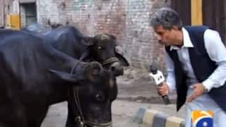 This Pakistani journalist is interviewing... Cows! But when you realise why, you can't stop respecting him!