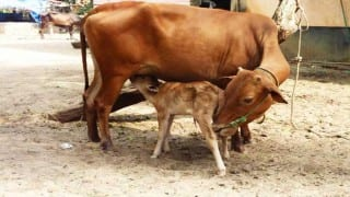 Youth arrested for smuggling cows