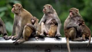 Uttarakhand government to give pregnancy pills to monkeys to curb the growing monkey population!