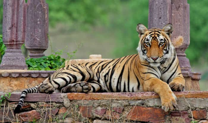 India's Most Famous Tiger Machli, 'Queen of Ranthambore', Dies at 19