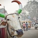 What do Hindu Scriptures Actually say About Beef Consumption?