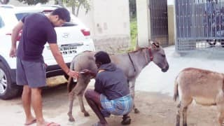 Meet Lakshmi, the donkey whose milk sells for Rs 50 per spoon!