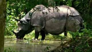 3 more rhino deaths due to flood, 2 deaths by poachers in Kaziranga National Park
