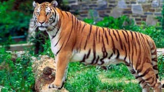 Despite growth in numbers, all is not well for tigers: Report