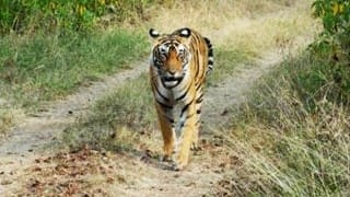 Kruthika: 19 year old tigress and pride of Karnataka Safari, passes away