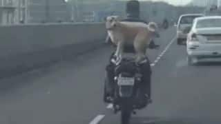 This dog balancing perfectly on a bike zooming at 80kmph on a highway is killin' it!