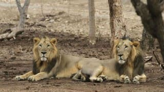 Nahargarh Biological Park in Jaipur to get 2 Asiatic lions