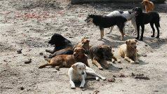 Madhya Pradesh: Stray dogs eat up 70-year-old woman, mauled body found in hospital premises