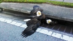 Bald eagles get trapped in sewer drain, draw comparisons to current state of America
