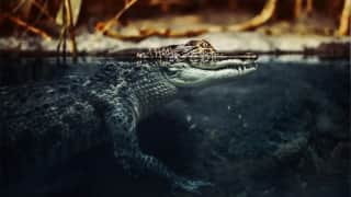 Chilling footage of a crocodile attacking a couple in swimming pool!