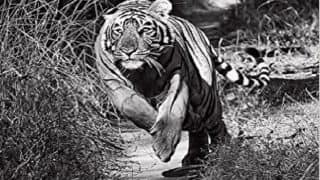 Book Review: Of hope and despair- 40 years with tigers