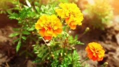 Health benefits of marigold flower or gende ka phool |…