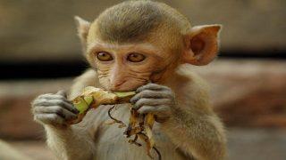 Money Heist Season 5? Monkey Leaves Twitterati in Splits as Video of it Withdrawing Money From ATM Goes Viral