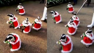 Cute Santa Alert! Penguins dressed in Christmas outfits waddle in Japanese Park (Watch adorable parade video)