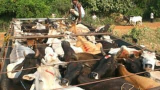 Shun Trading Cattles at Night, Carry Required Documents to Avoid Attacks by Gau Rakshaks: Jamiat Ulama-i-Hind