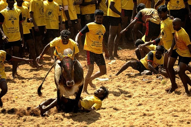 SC rejects plea to allow Jallikattu