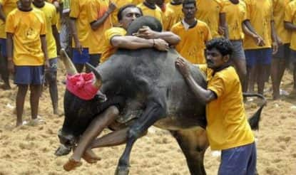 Jallikattu: What is the History, Significance & Meaning of Tamil Nadu's Eruthazhuvuthal or Bull Taming Pongal event?