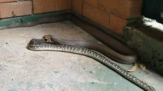 Brown snake recorded swallowing python whole in Australia! Video of rare sight goes viral on the internet