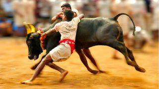 Jallikattu: Spectator Dies of Heart Attack, Over 40 Injured During Bull Taming Sport in Alanganallur