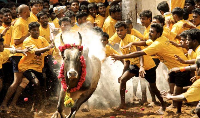 File photo of bull taming sport Jallikattu