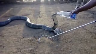 Summer heat makes King Cobra beg for water; calmly drinks water from a bottle (Watch Video)