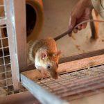 Nagpur Marijuana Missing Case: Railway police accuses rats of 25 kgs of weed missing!
