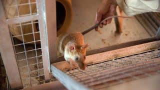 Hantavirus Early Symptoms, Signs to Get Alert: This is How You Can Take Precautions And Prevent Yourself From Deadly Virus