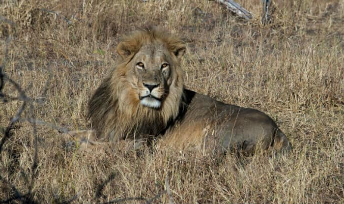 Gujarat: Lions Attack 'Gaushala', Maul 15 Cows Within Just 45 Minutes |  India.com