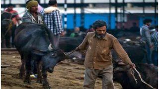 योगी की राह पर रघुबर, झारखंड में भी अवैध बूचड़खानों पर गिरेगी गाज