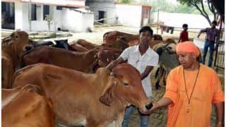 योगी आदित्यनाथ को नहीं भूली उनकी गाय, एक आहट से दौड़ी चली आईं