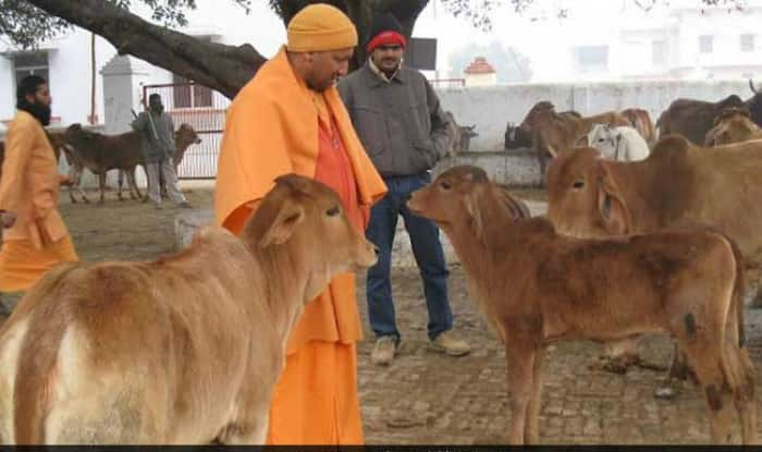 Uttar Pradesh Govt Allocates Nearly Rs 500 Crore From Budget to Cow Welfare