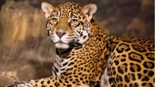 Madhya Pradesh: Leopard Kills, Eats Two Children in 6 Hours in Chhindwara