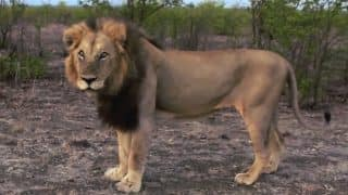Lion roars back to teach an annoying traveler that you DO NOT mess with the King of Jungle! (Watch Video)