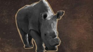 Last male northern white rhino Sudan joins dating app Tinder; would you swipe right?