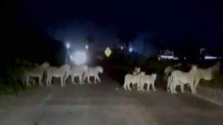 Pride of lions block highway in Gujarat, watch video