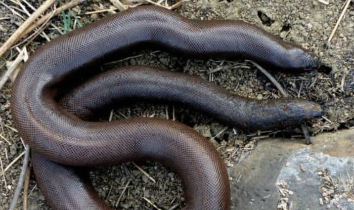 Boa snake Seized in Mumbai Again: Why are sand boas in