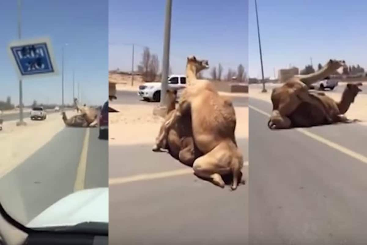 Two camels having sex in the middle of the road brings ...