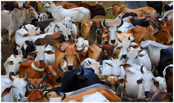 Centre-Assigned Panel For Studying Medicinal Value of Cow Urine, Dung To Meet Next Month
